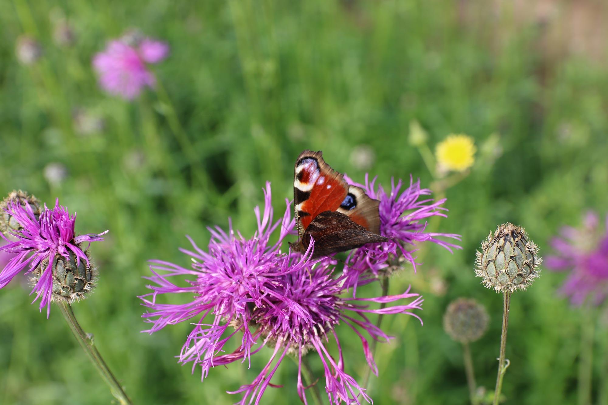 heimische Fauna Schmetterling