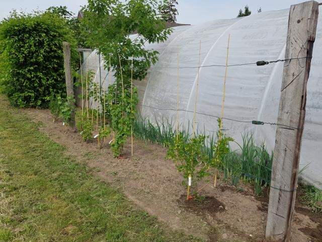 Neu angelegte Beerenhecke lädt bald zum Naschen ein.